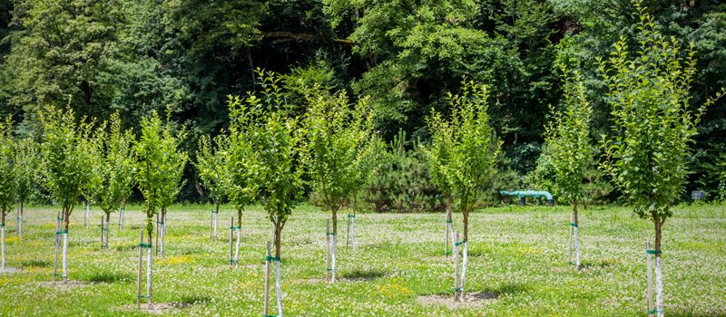 Planting Field-Grown Trees