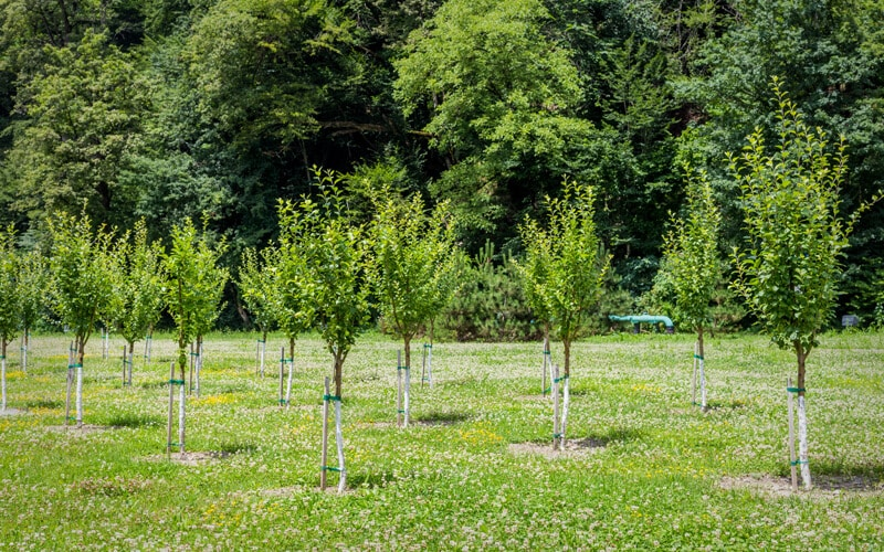Planting Field-Grown Trees