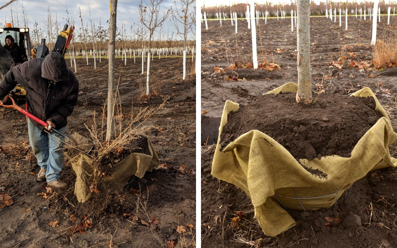 Using wire baskets for tree harvesting